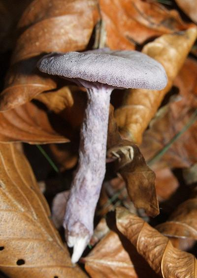 Mushrooms and Toadstools Fungi Images A-Z UK