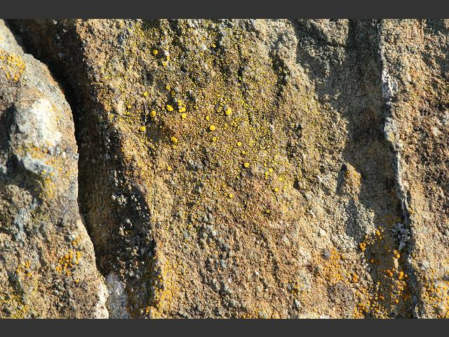 Photographic Stock Image Library Page for Candelariella vitellina Egg-yolk Lichen The Lichen Image Gallery